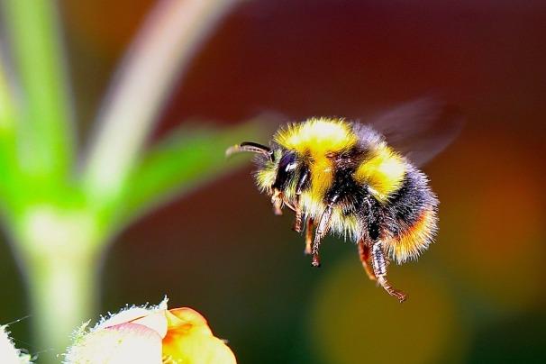 bumble-bee-2361336_960_720.jpg